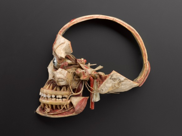 Wax anatomical model of a female human head showing the internal structure of skull.