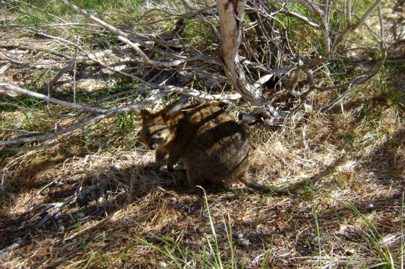 Quokkas are harmless and found all over the island